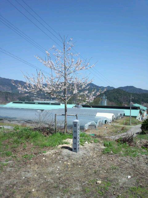 写真:荘川勤務時代に頂いた荘川桜2世、H24,5